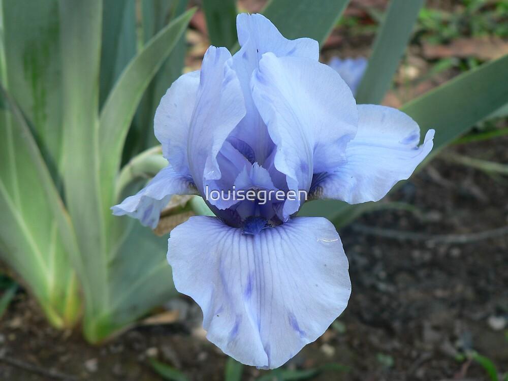 """Median Iris - """"Blackbeard"""" by louisegreen"""