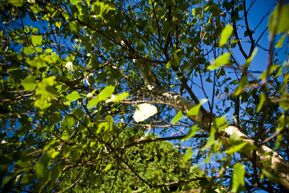 Through The Poplar. by David Amos