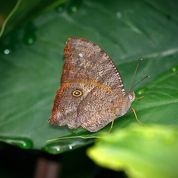 Melanitis leda (Evening Brown) Butterfly by Normf