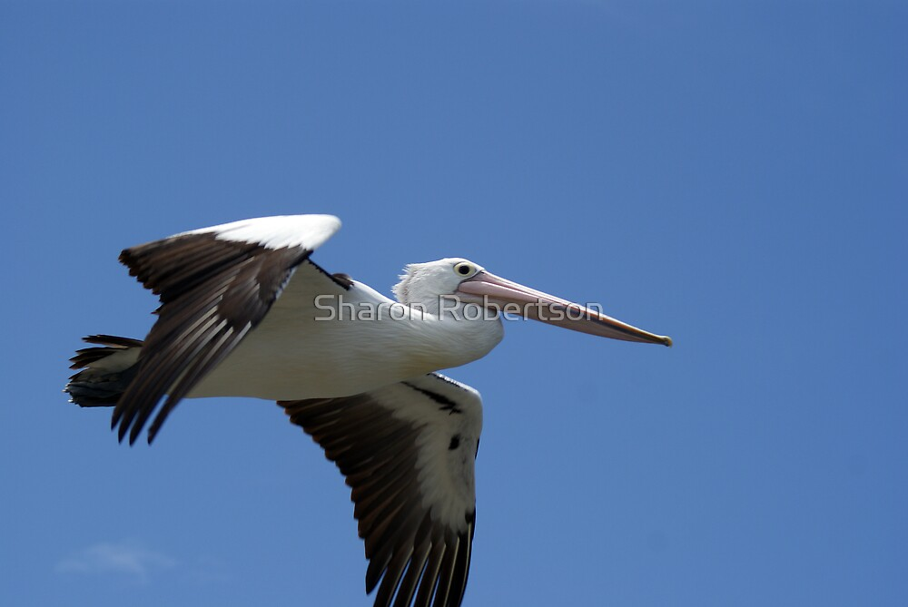 Pelican Flyby by Sharon Robertson
