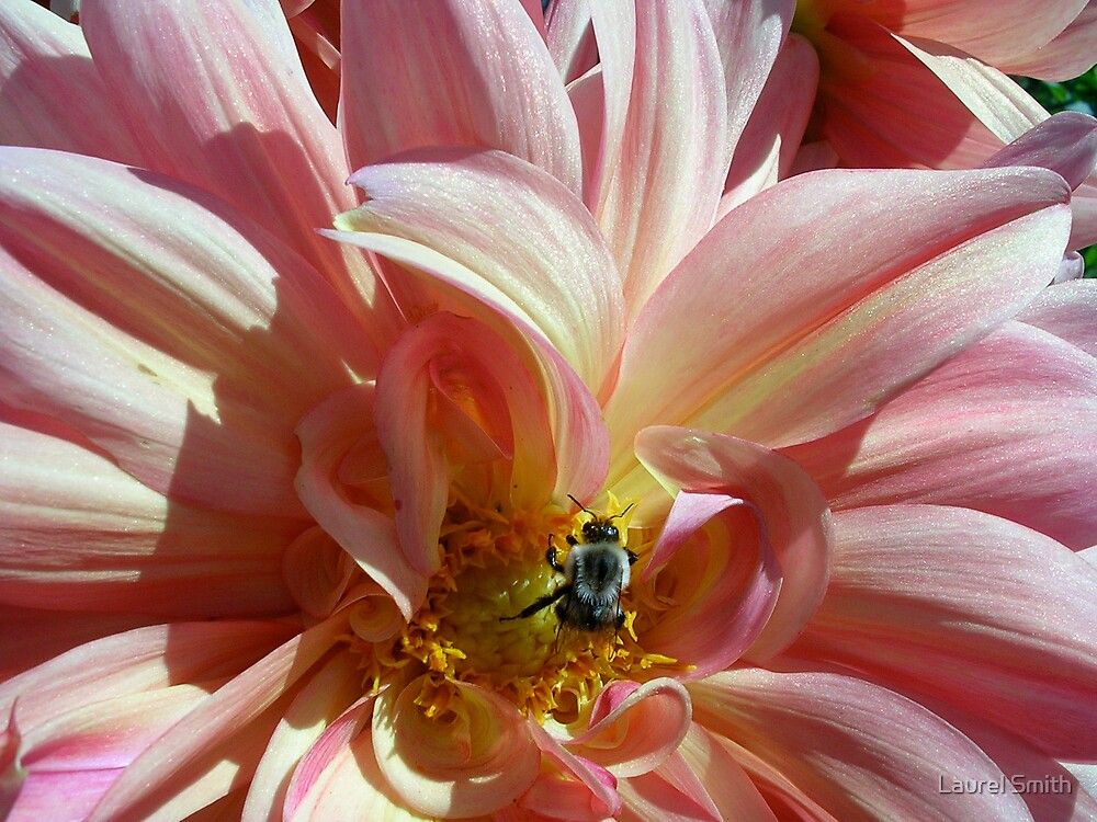 Dahlia with Bee by Laurel Smith