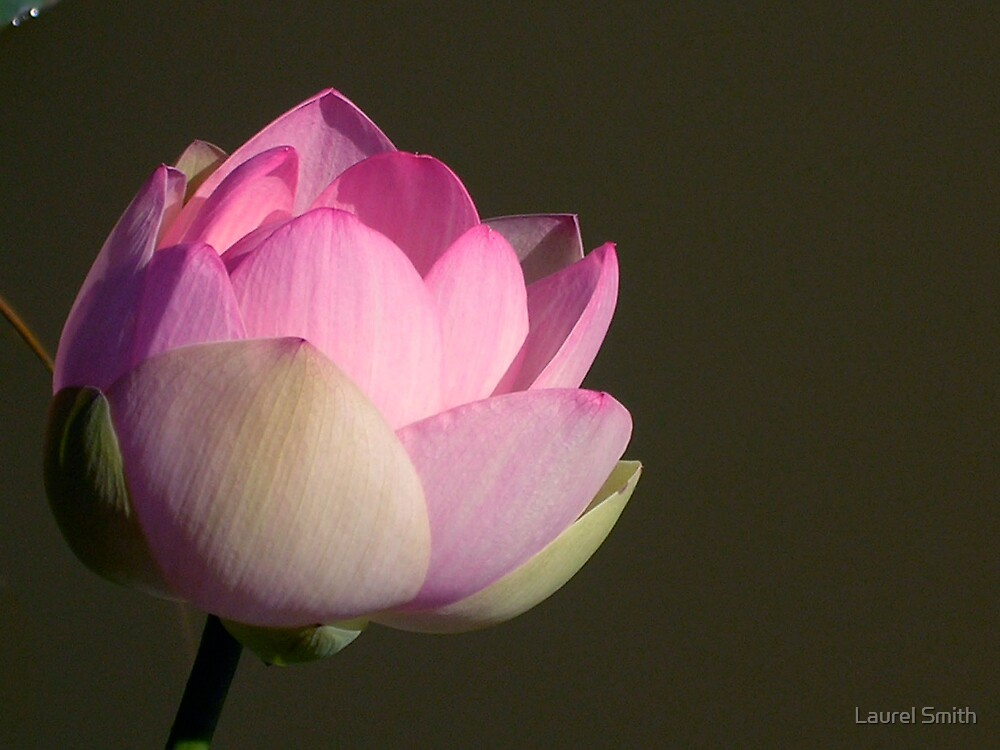 Pink Lotus by Laurel Smith