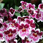 Dendrobium Orchids 004 by Hope Ledebur