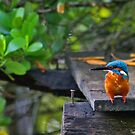 Common Kingfisher - Sri Lanka by David Clark