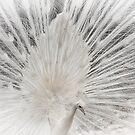 The white peacock by Adam Guiel