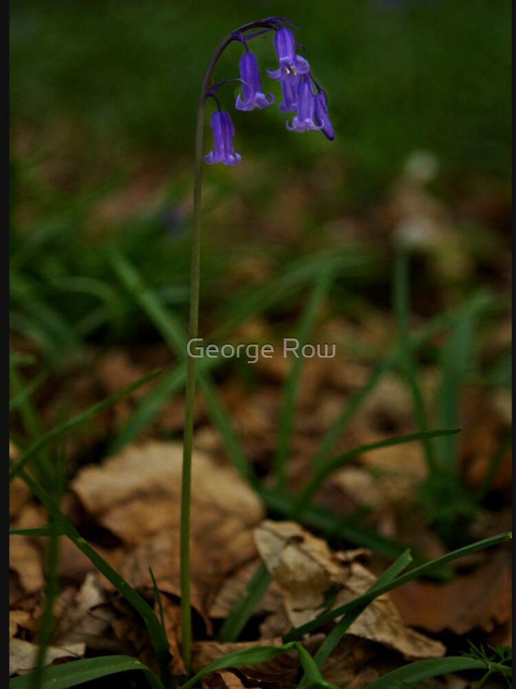 Single Bluebell in Prehen Woods, Derry by VeryIreland