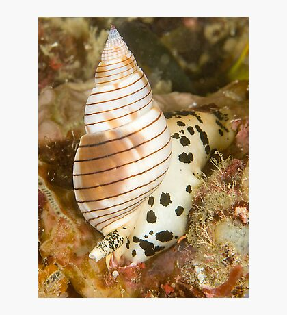 Sea Snail Photographic Print