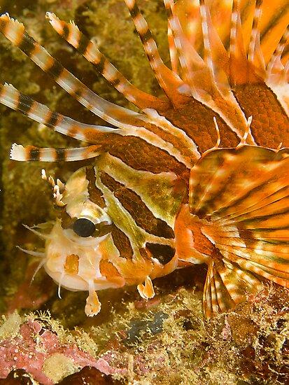 Lionfish by Dan Sweeney