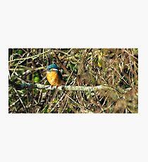 Female Kingfisher enjoying the Sun Photographic Print