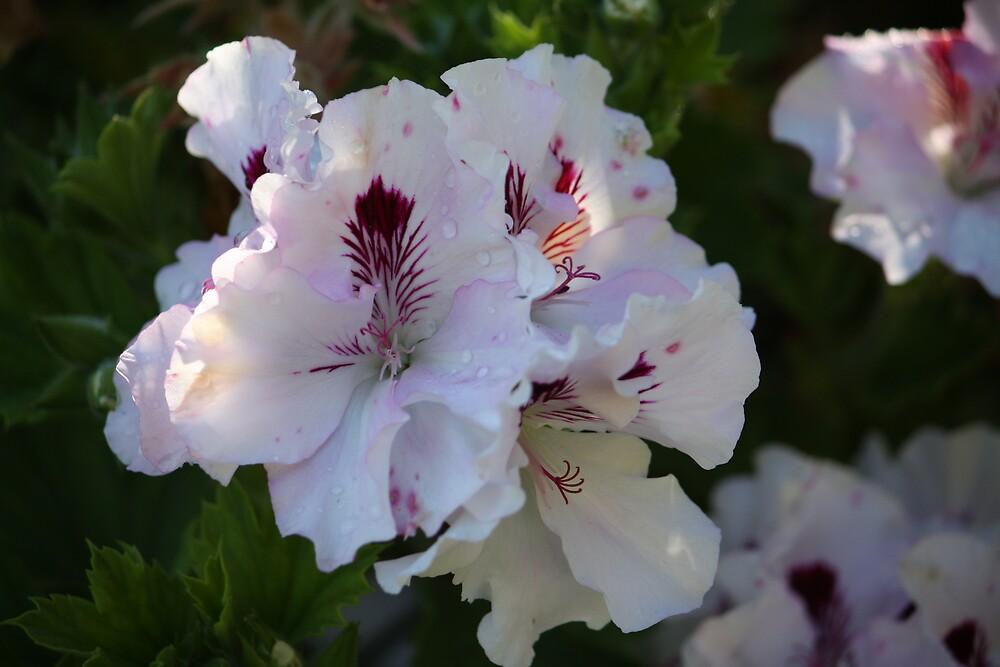 Pelargonium in bloom by tazsnaps