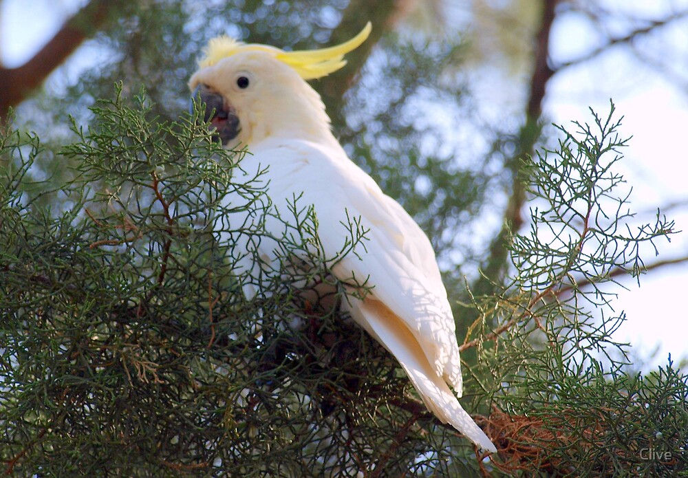 Sulphur Crested Cockatoo by Clive