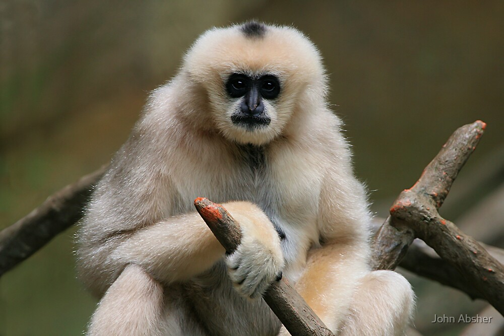 Quot Gibbon Monkey Quot By John Absher Redbubble