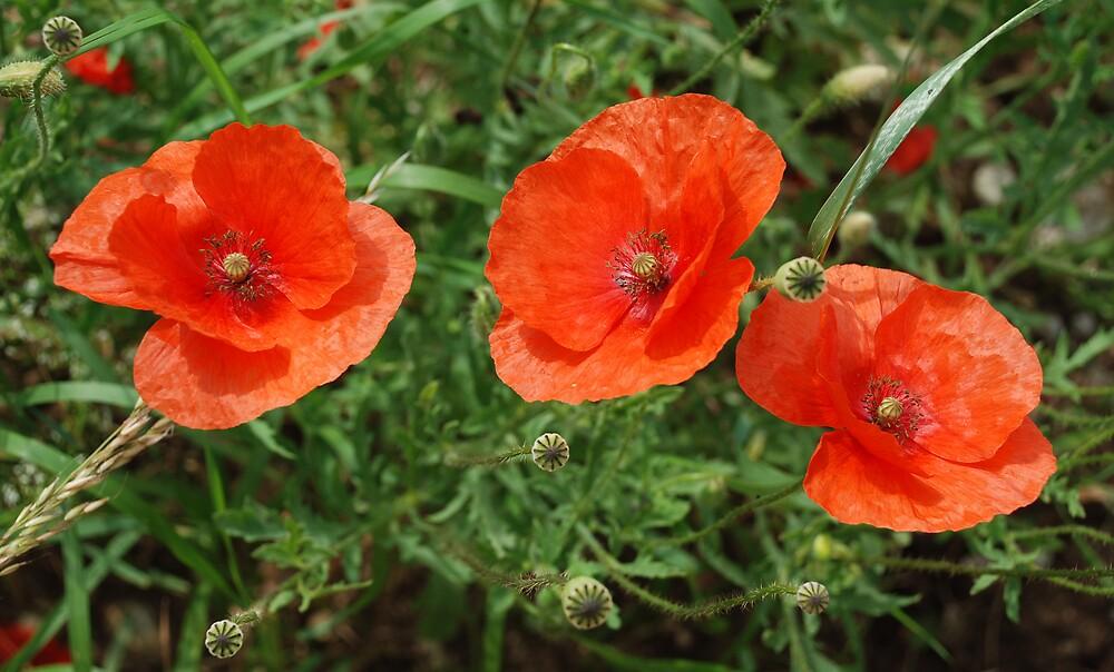 Meadow Poppies by jojobob