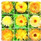 Orange and Yellow Marigold Watercolor Collage Vector by taiche