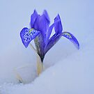Spring's Greetings  by Brian Bo Mei