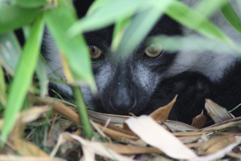 Shy Lemur by sjmphotos