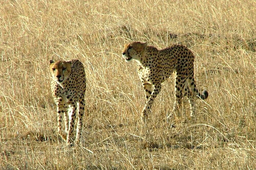 Cheetahs on Patrol - Masai Mara by jardin