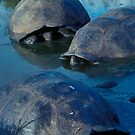 Galapagos Tortoises in Pond by Dan Sweeney