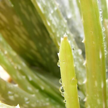 Aloe vera & raindrops by elizabethrose05