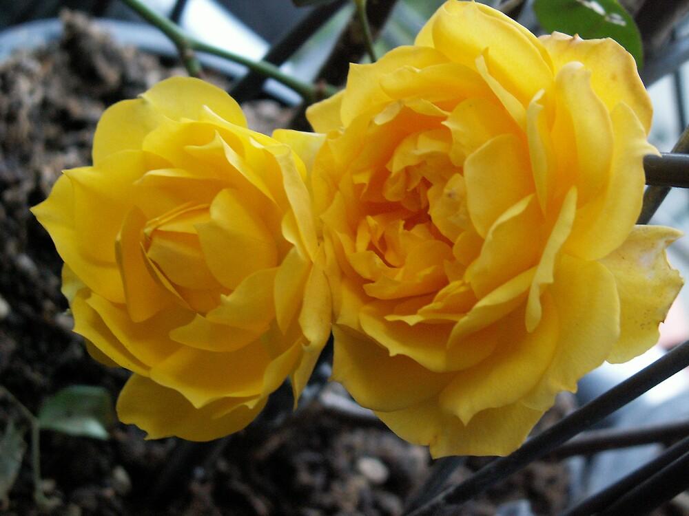 Rose by erdogan49