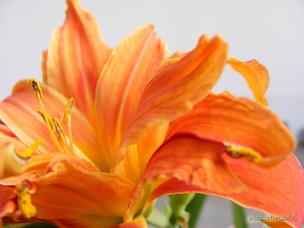 Day Lily #2 by elizabethrose05