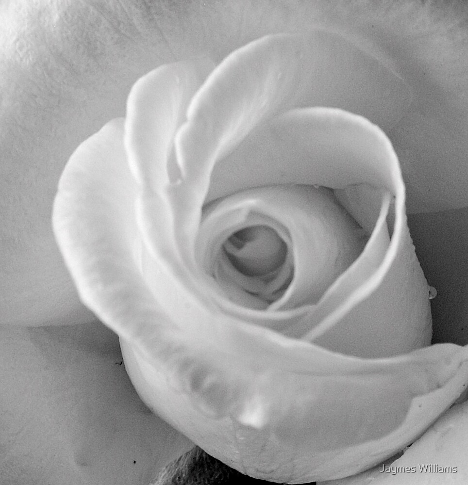 White Rose by Jaymes Williams