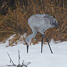 Foraging in the Snow by David Friederich