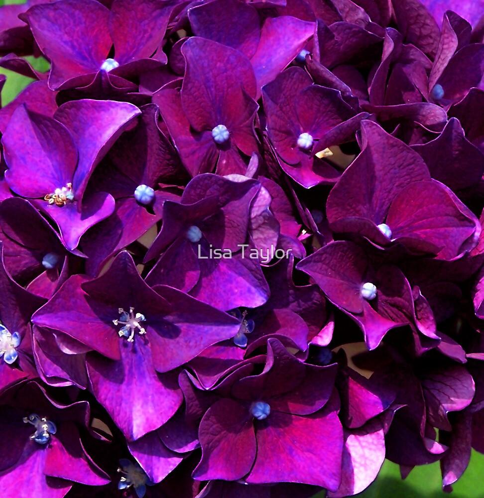 Hydrangea by Lisa Taylor
