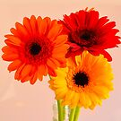 Three gerberas - red, orange and yellow by David Rankin