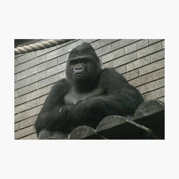 West Lowland Silverback Gorilla Photographic Print