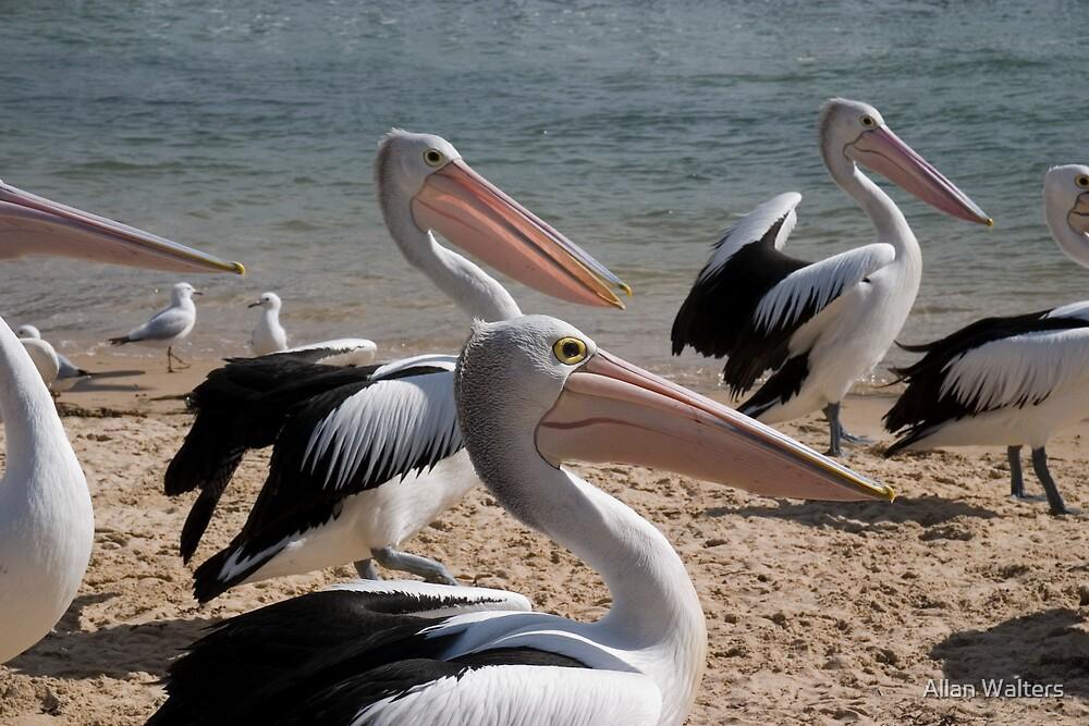Pelicans by Allan Walters