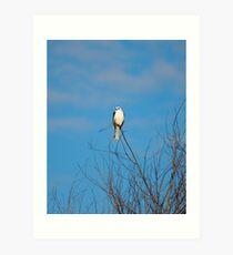 White Tailed Kite II Art Print