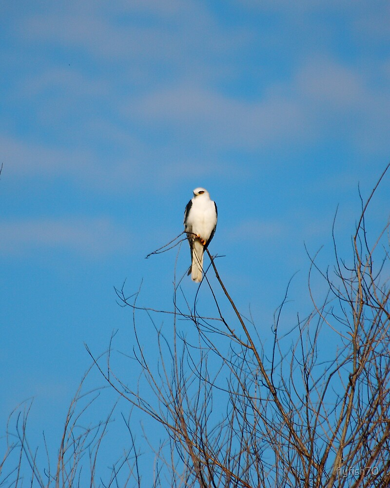 White Tailed Kite II by flyfish70
