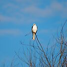 White Tailed Kite II by flyfish70