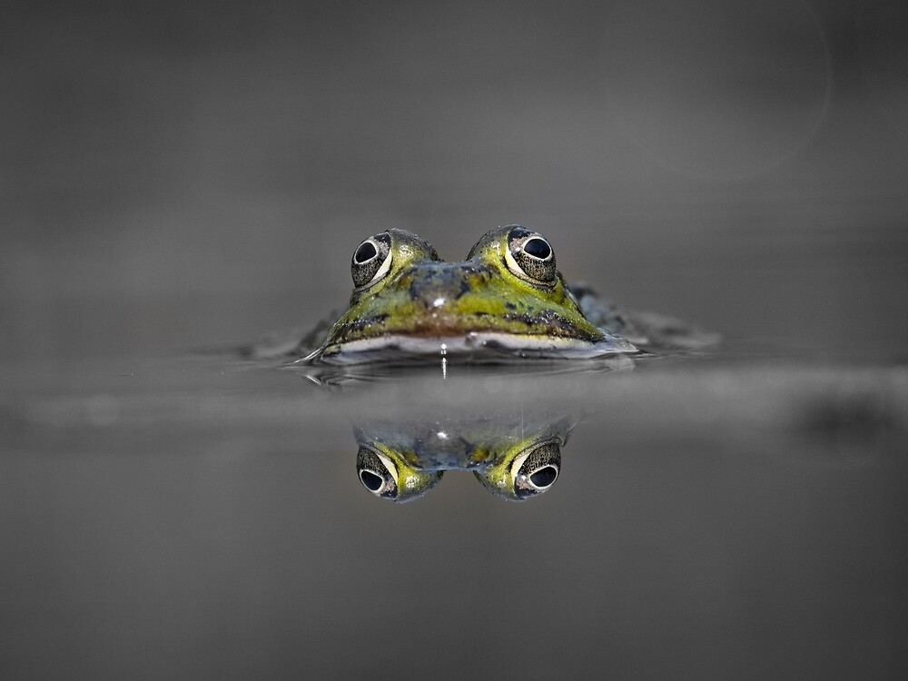 """Pond Frog - Pelophylax """"esculentus"""" by Mike Ahrens"""