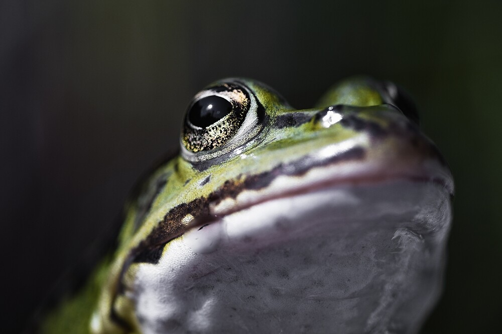 Pond frog - portrait by Mike Ahrens