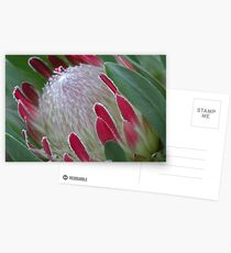 Protea Bud Postcards