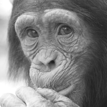 Cheeky Chimp by sjmphotos