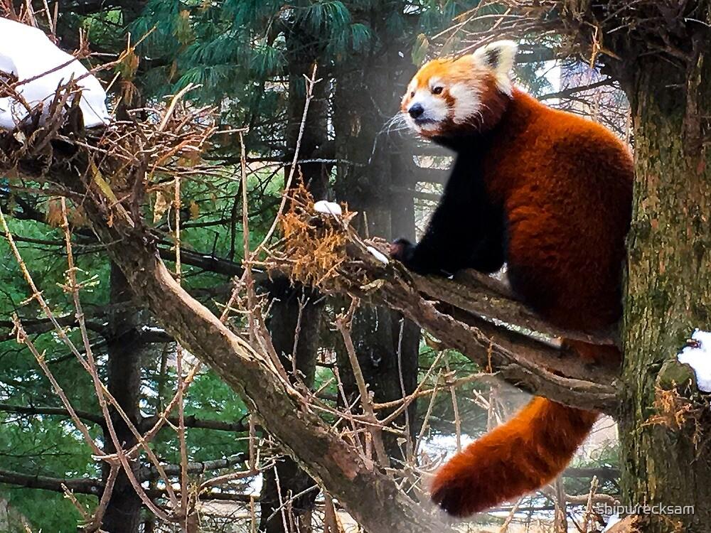 Red Panda in NYC by shipwrecksam