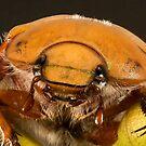 Christmas beetle by wildrider58