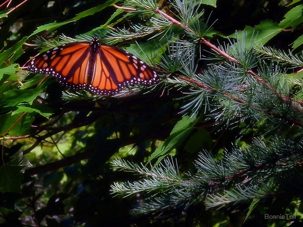 Monarch In The Pines by BonnieToll