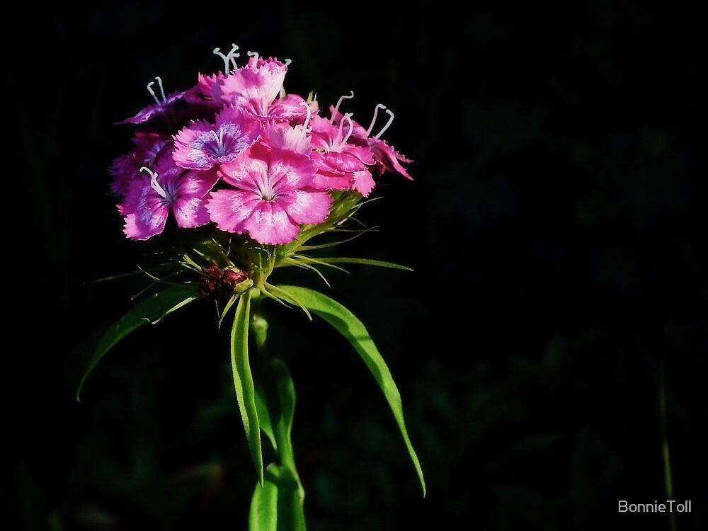 Maiden Pink (Dianthus deltoides) by BonnieToll