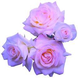 purple roses by kathumphrey