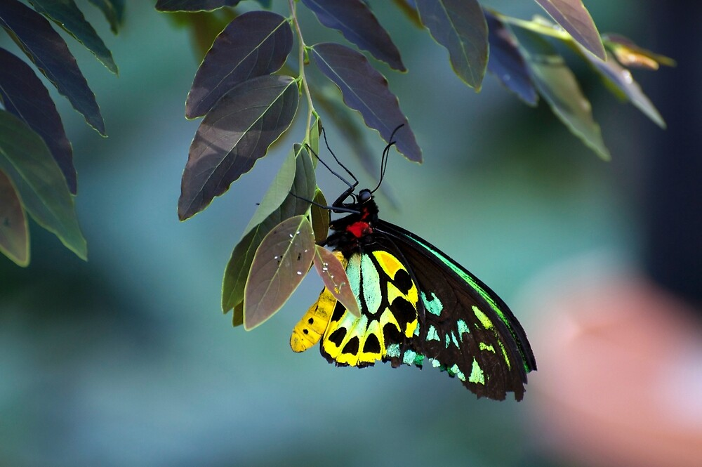 Cairns Birdwing With Eggs by GP1746