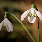 Snowdrops 2 by JEZ22