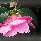Camelia-Kissed By The Rain by naturelover