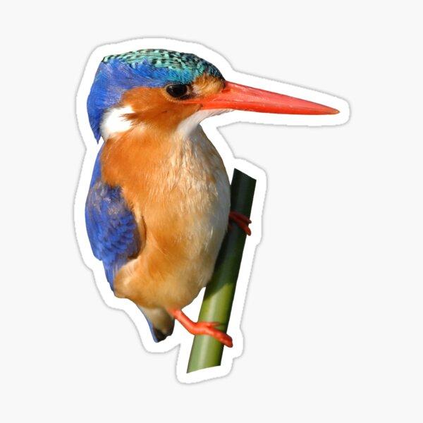 Malachite Kingfisher on reed 3 Sticker
