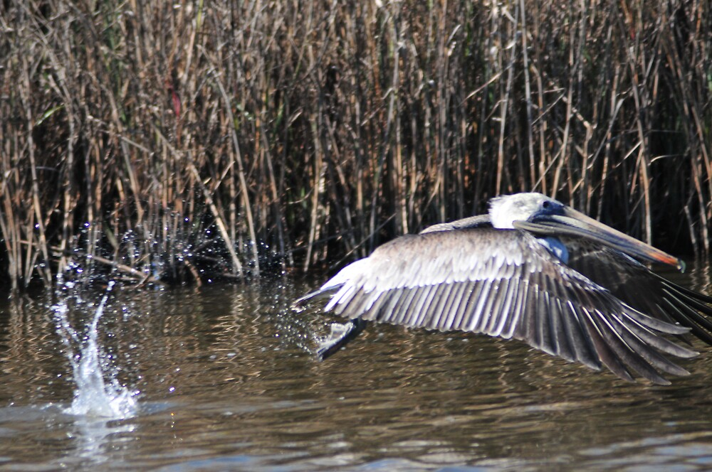 Pelican on the go by Bill Perry