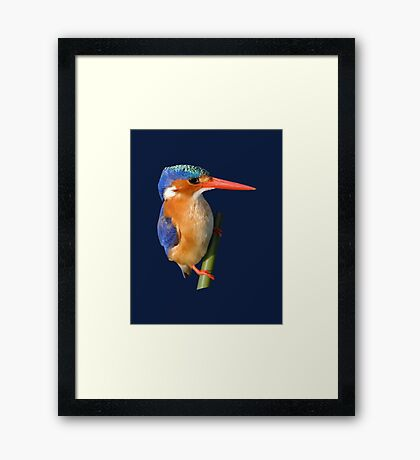 Malachite Kingfisher on reed 4 Framed Print