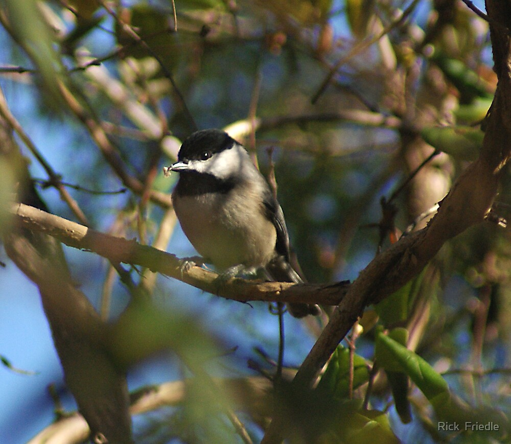 Chickadee by Rick  Friedle
